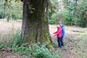Eichen-Gigant am Wegesrand. Diese Bäume sind über 200 Jahre alt.